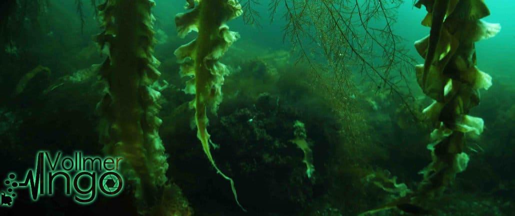 kelp algen ingo vollmer